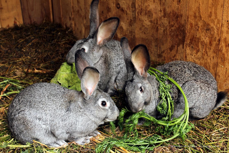 Болезни кроликов: классификация и лечение