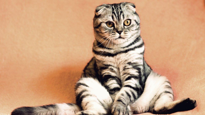Самые популярные современные породы кошек