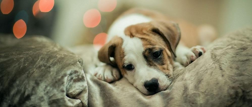 красный глаз у собаки. Лечение
