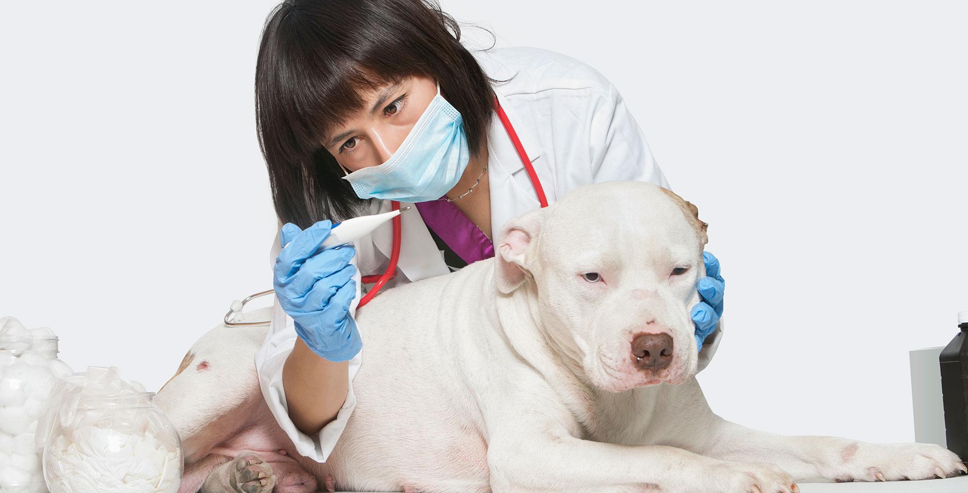 Температура тела у собак